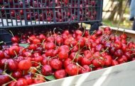 Global Cherry Summit: Capacidad productiva actual y futura