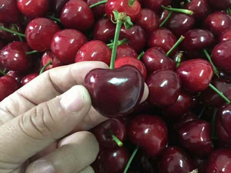 China: Llegan a Chongqing 200 toneladas de cerezas chilenas