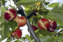 Coatings to reduce sweet cherry cracking